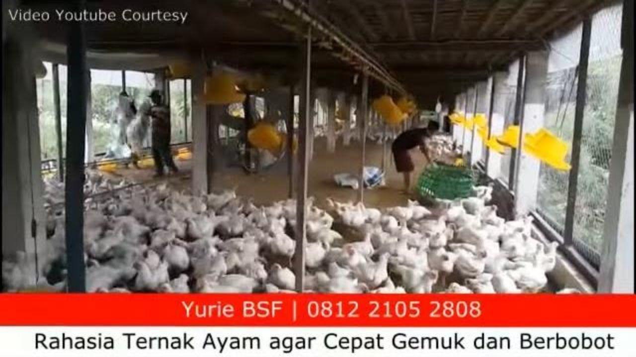 Rahasia Ternak Ayam Agar Cepat Gemuk Dan Berbobot Pemberian Pakan Tambahan Ayam Bau Saiki
