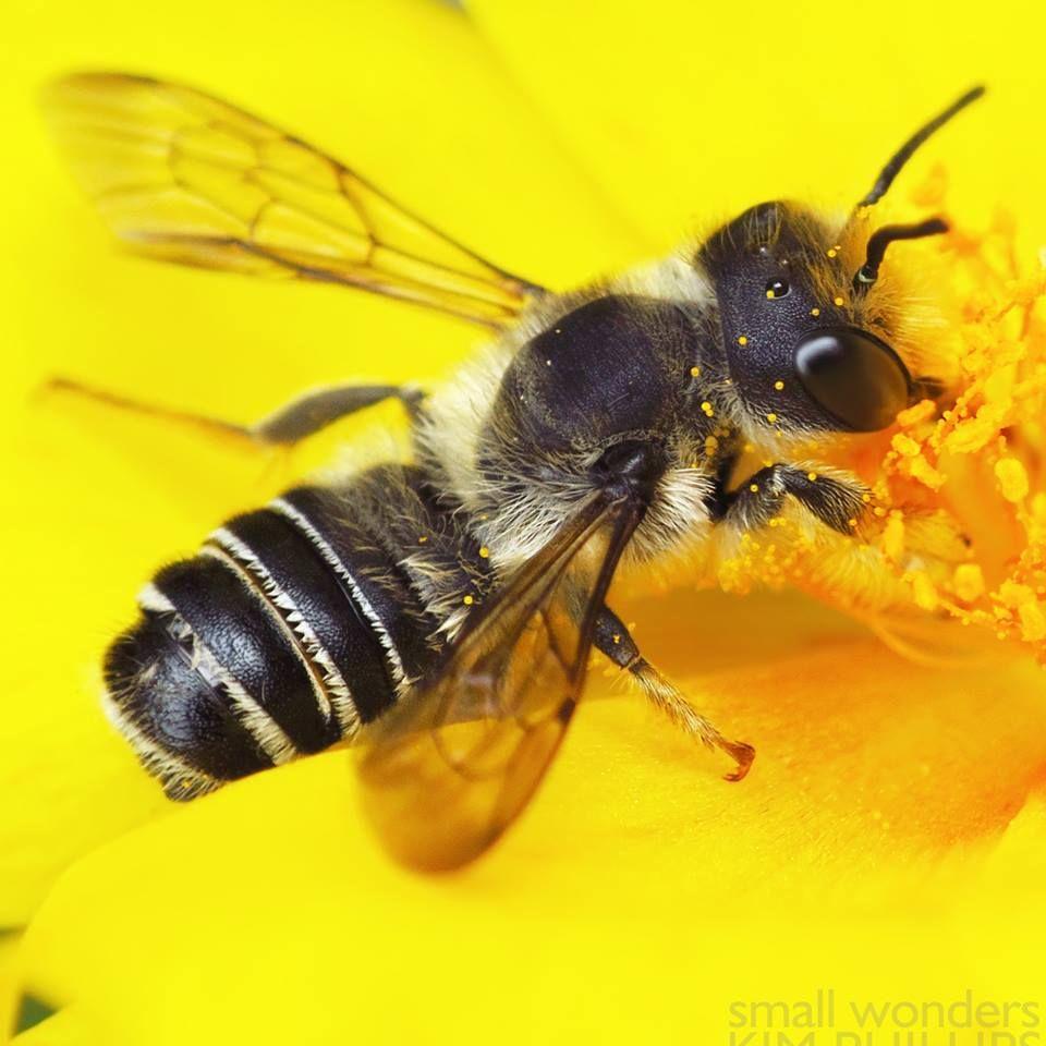Pugnacious leafcutter Bee (Megachilepugnata) Abeille