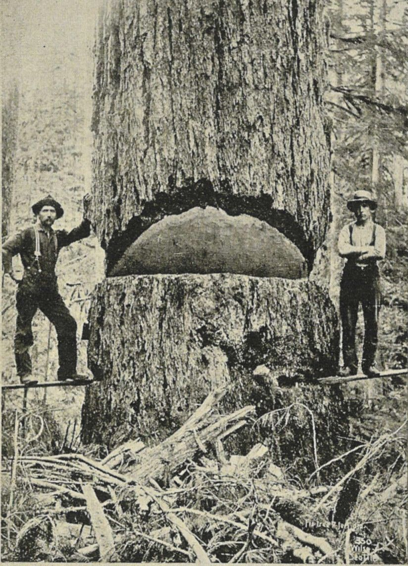 a washington fir 9 feet in diameter by anders beer wilse amusing rh pinterest com