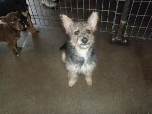 LUCKY is an adoptable Schnauzer Dog in Denton, TX. Lucky was released by her owners and is available now for adoption. She is a 3-4 month old schnauzer/poodle mix who is just adorable. She is friendly...
