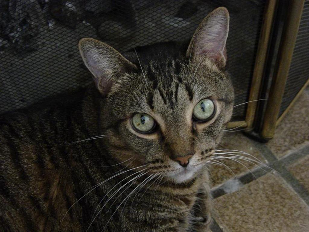 california spangled beautiful and unique cat breeds