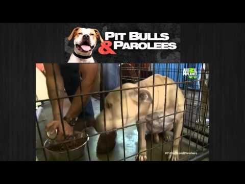 Pit Bulls And Parolees Season 6 Episode 16 Long Road Home Pitbulls Bull Pit Bulls Parolees