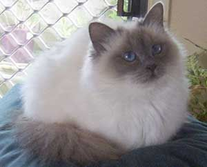Blue Point Birman Fancy Cats Pretty Cats Gorgeous Cats