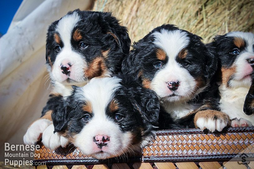 Puppies For Sale Purebred Berners From The Mountains Sweetwater