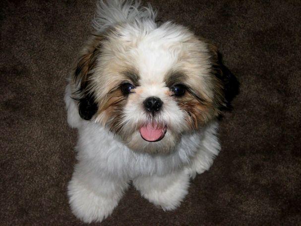 Pin By Vanessa Bejarano On Gizmo Haircuts Shih Tzu Puppy Dog
