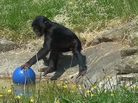 This cute baby bonobo chimpanzee is playing with his blue ball. He lets it glide on the water to catch it on the other side.