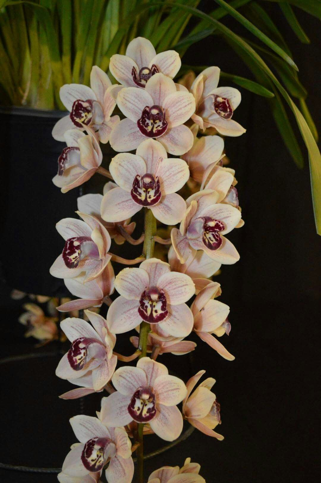Pin By Flowers In Heart On Cymbidium Orchids Beautiful Orchids Rare Flowers Orchid Plants