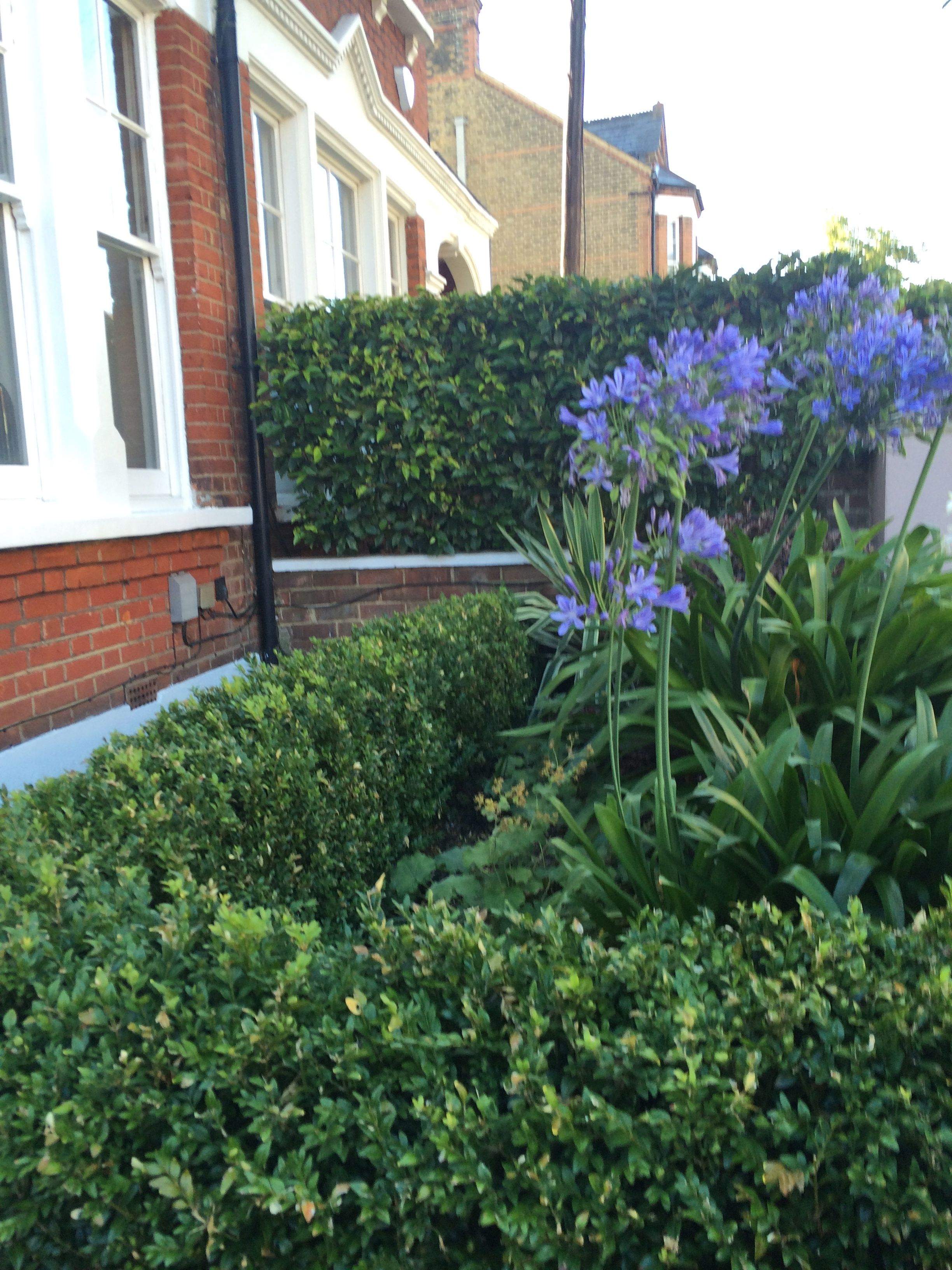 Buxus box hedge and Agapanthus giganteus Something for outside