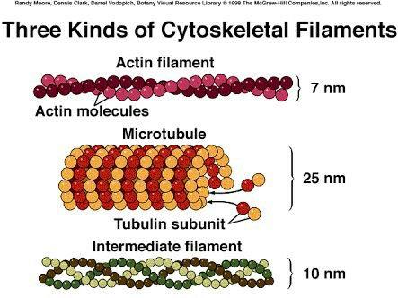 Three Kinds of Cytoskeletal Filaments