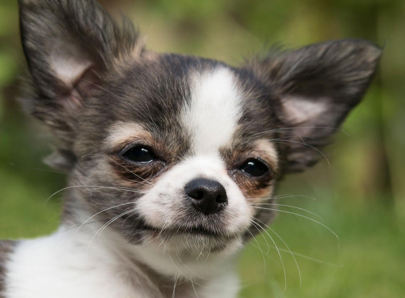 Kleine Hunderassen Die Beliebtesten Rassen Mit Bild Hunderassen Kleine Chihuahua Welpen Kleine Hunderassen
