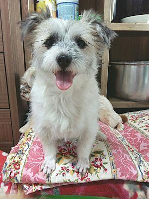 Fairfax, Virginia Shih Tzu. Meet Minkie, a for adoption