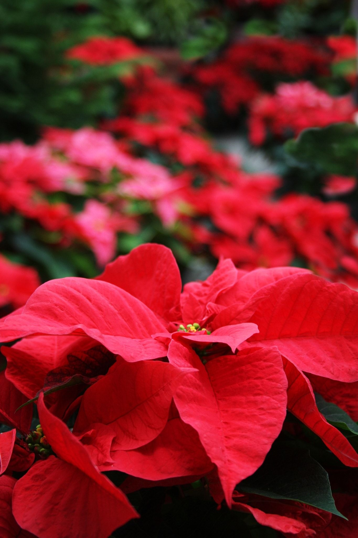 Plenty Of Poinsettia Plants Red And Green Poinsettia Plants Poinsettia Plant Winter Garden Ivy Flower