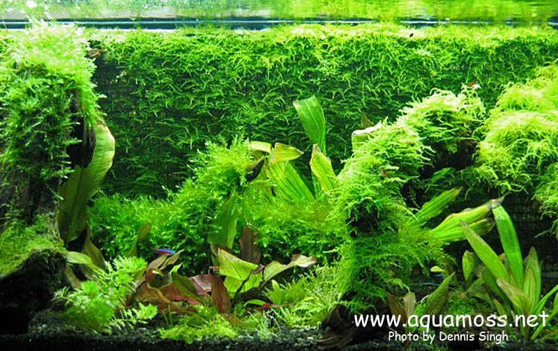 Http Borneosucker Blogspot Com Step By Step Diy Java Moss Wall Planted Aquarium Aquascape Moss Wall