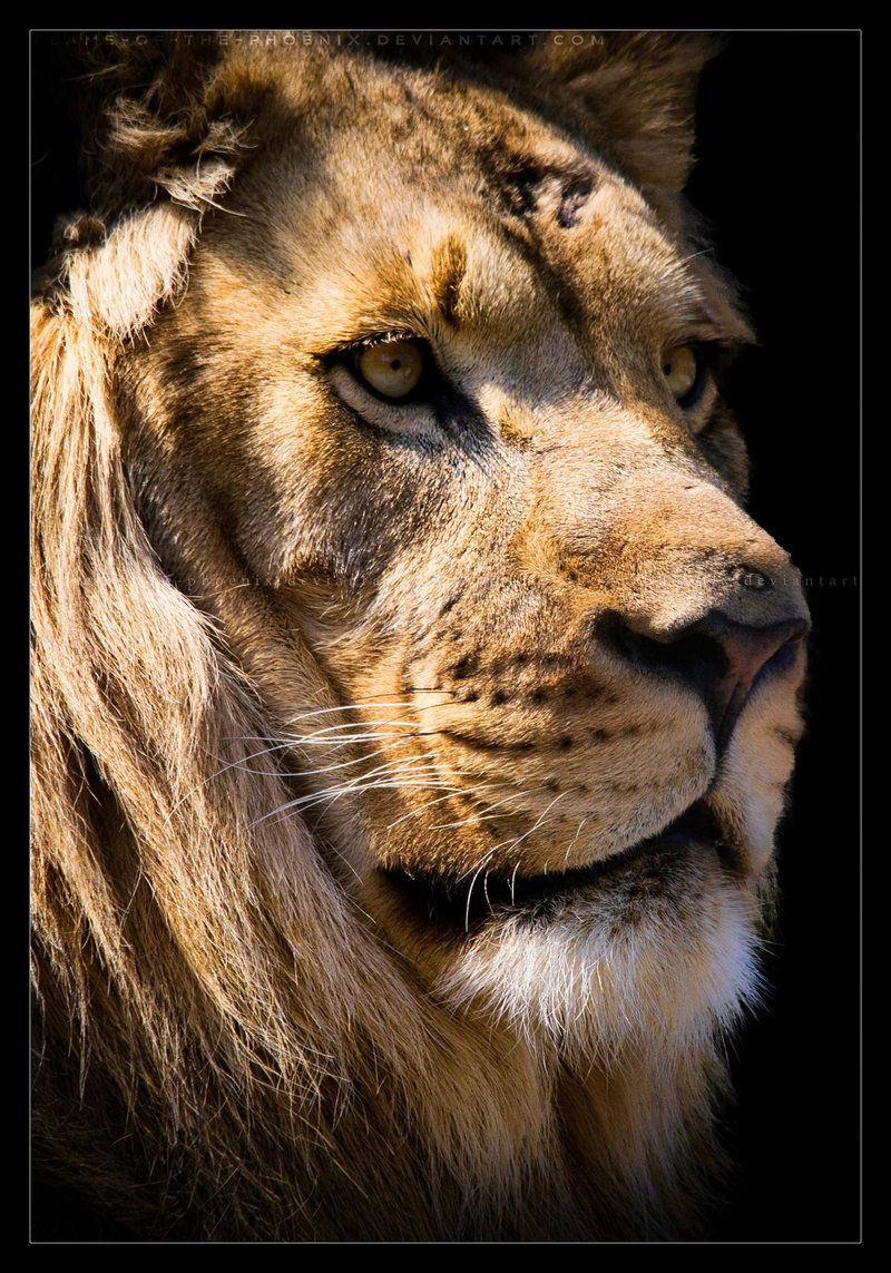 The majestic quarter view of a male lion. Photography by ©Flame-of ...