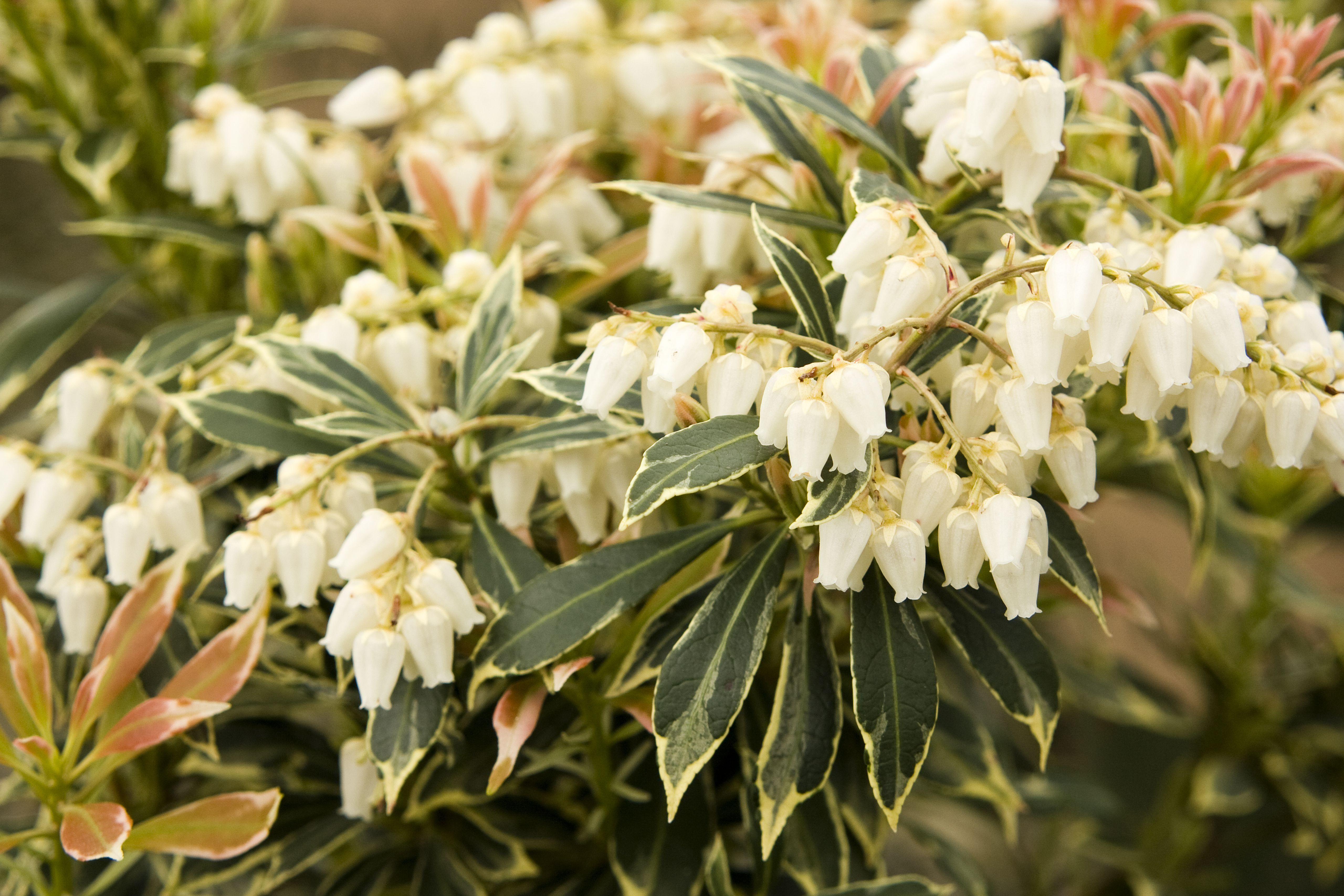 In Bloom Shade Loving Pieris Flowers Gardening And Such Plants