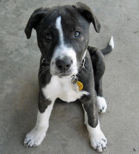 Fury The Mixed Breed Cute Dogs Breeds Pitbulls Cute Dogs