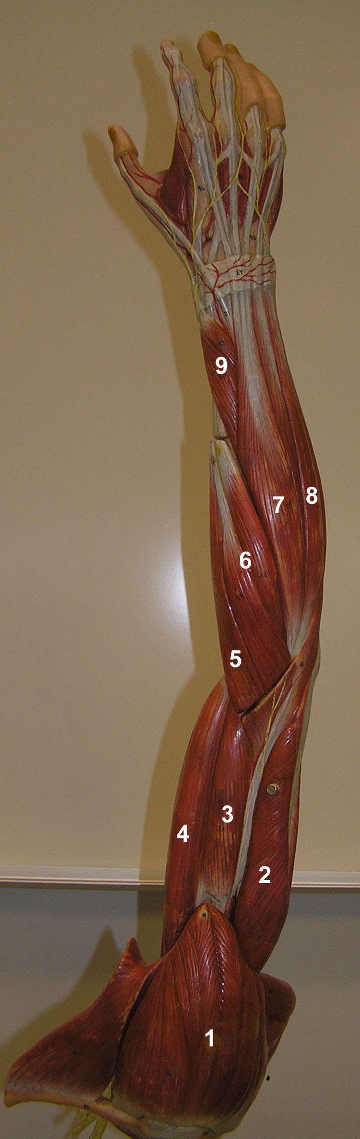 1 Deltoid 2 Triceps Brachii Lateral Head 3 Brachialis 4