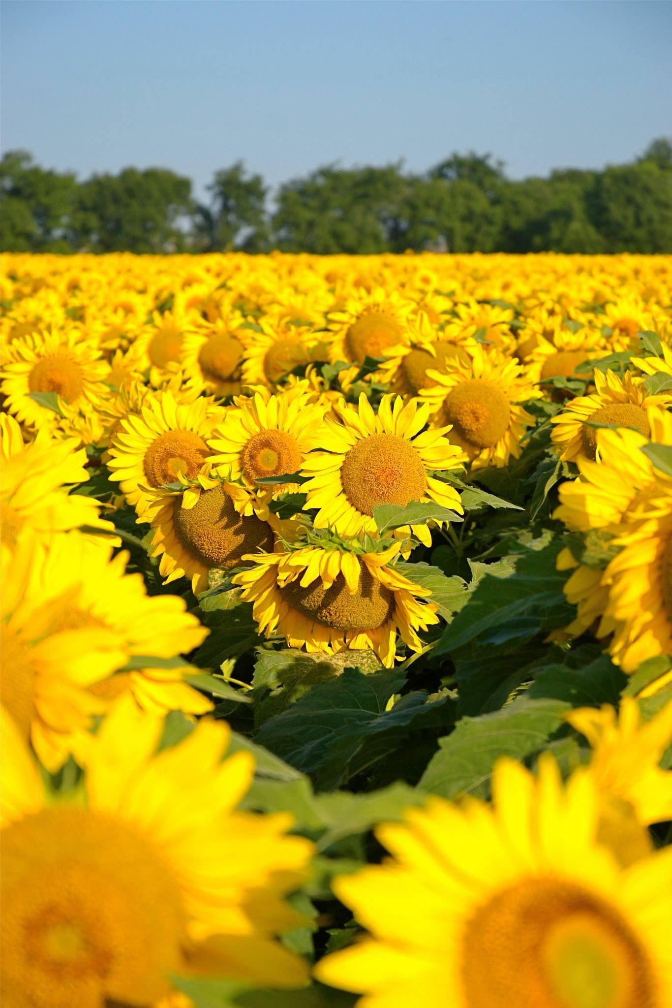 Sunflowers Cradling Sunflowers.