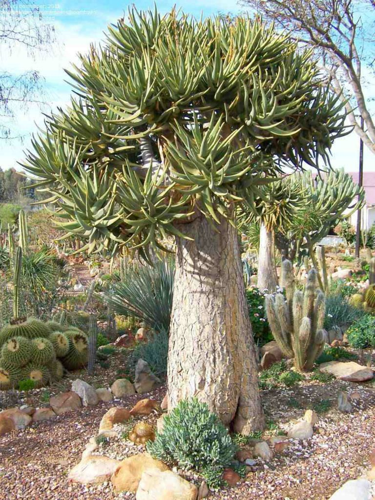 Aloe dichotoma (Quiver Tree) is an extremely tough tree that may reach an age of over 80 years and a height of approximately 23 feet (7 m)...