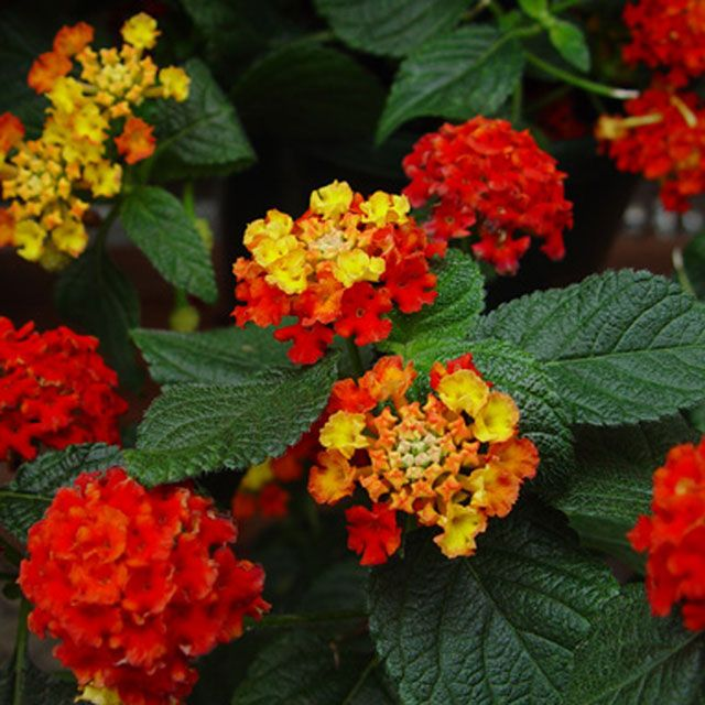 Bandana Red Lantana Jpg 640 640 Pixels Lantana Flower Tower Hydrangea Garden
