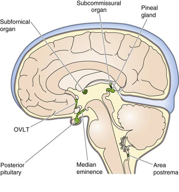 Image Result For Anatomy Of Circumventricular Organs And Ventricles