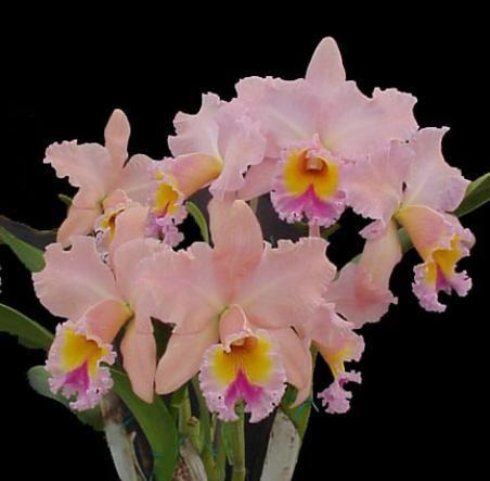 Cattleya Hybrids Cattleya Cattleya Orchid Types Of Orchids