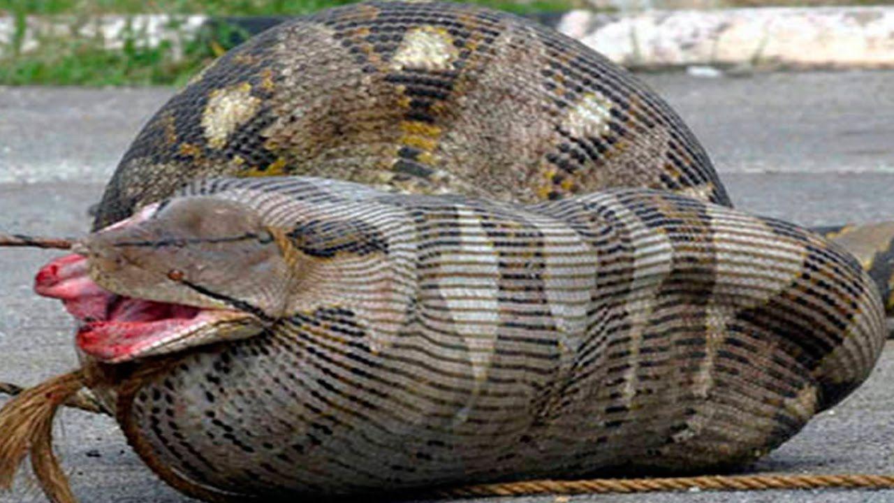 8 Cobras Que Se Deram Mal Tentando Comer Suas Presas