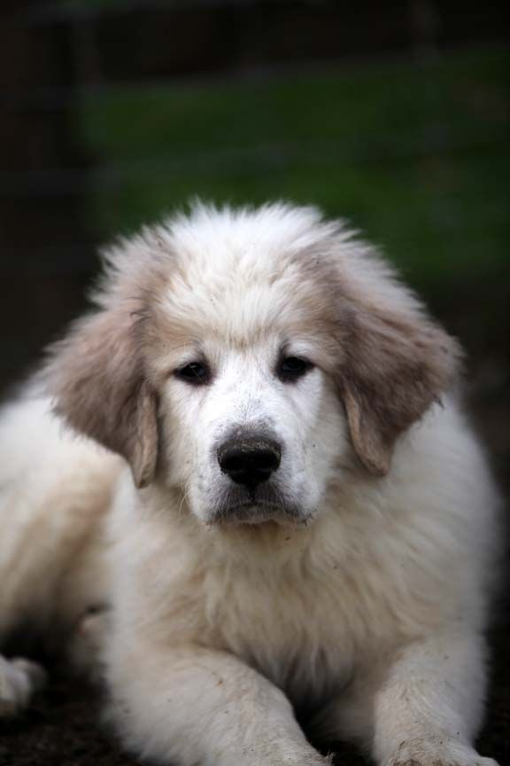 Great Pyrenees Dog pHOTO | ... Stitched on the Farm: Keep Those Great Pyrenees Puppies Names Coming