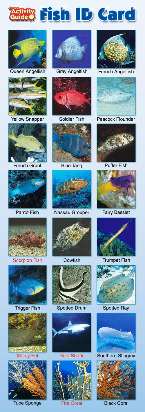 Cayman islands fish id card cayman fish identification for Fishing grand cayman
