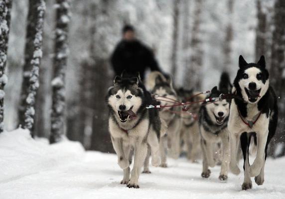 Huskies Sled In Rovaniemi Finland Dog Photos Husky Husky Breeds