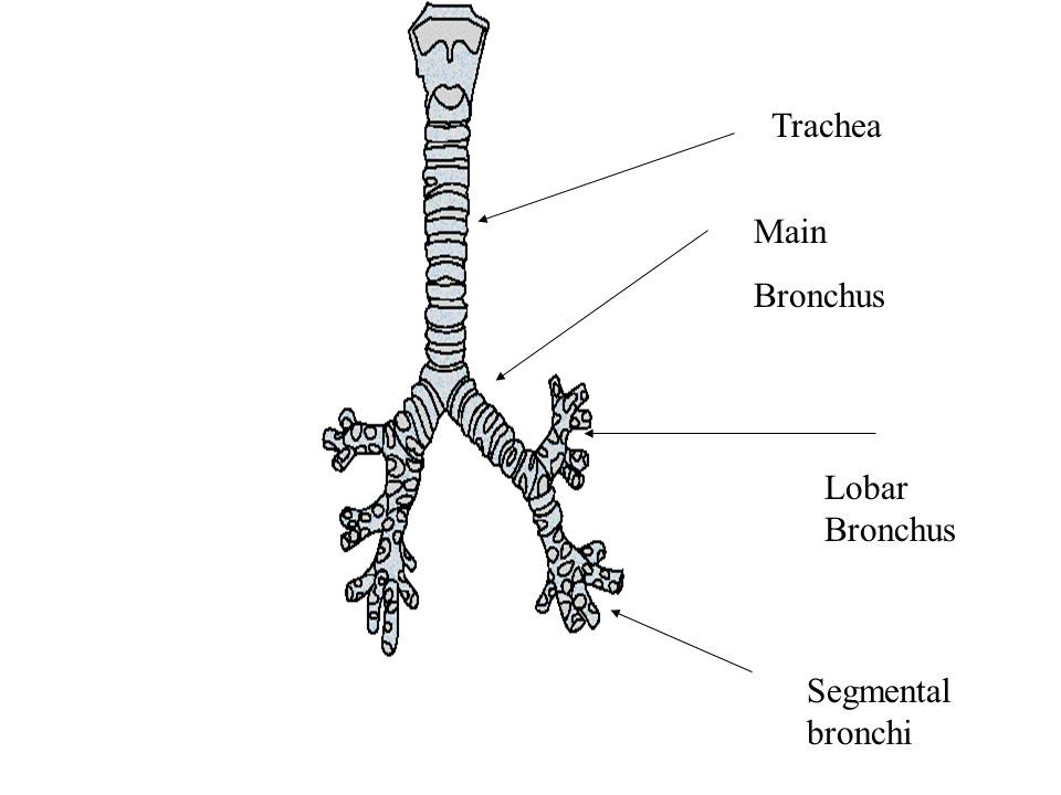 Image result for lobar bronchi | PA Anatomy | Pinterest | Anatomy