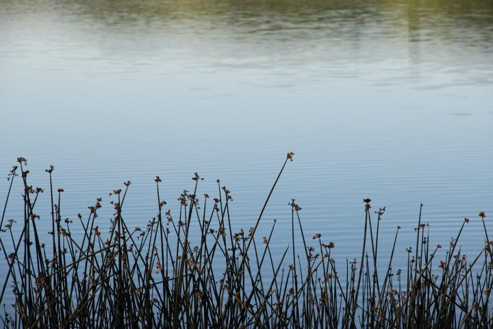 Free Stock Photo Of Grass Reeds In Front Of Still Water Still Water Stock Photos Free Stock Photos