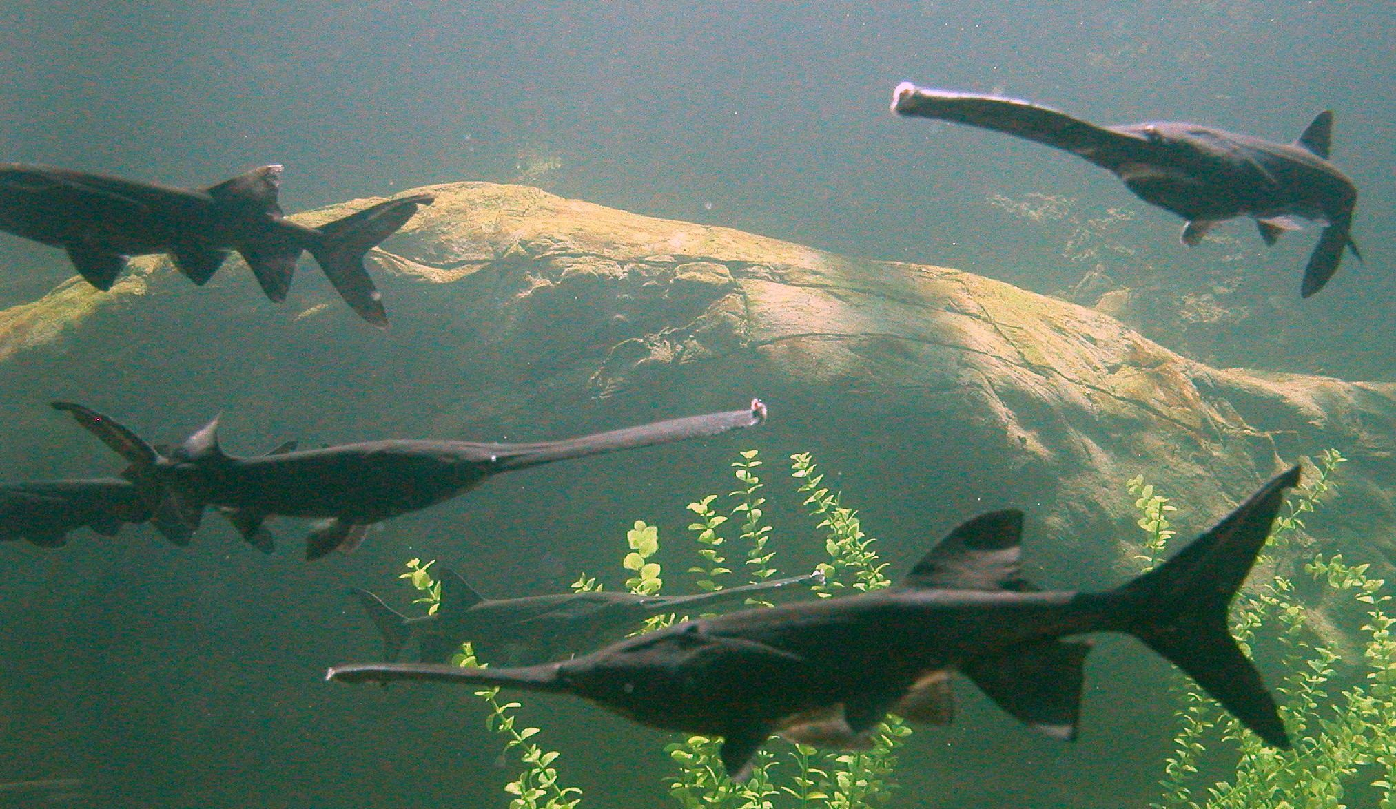 Freshwater fish kingdom - American Paddlefish Threatened In Virginia These Awesome Freshwater Fish Have Tails Very Similar To
