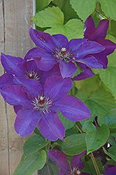 Click To View Large Photo Of The President Clematis (Clematis U0027The  Presidentu0027) At TLC Garden Centers