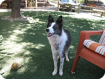 Auburn Area Of Placer County Ca Border Collie Mix Meet Luna A Dog For Adoption Http Www Adoptapet Com Pet Dog Adoption Border Collie Mix Border Collie