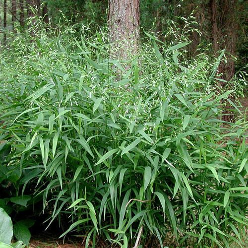 Chasmanthium latifolium growing to a maximum of a metre for Ornamental sea grass