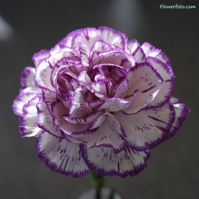 Carnationflower127 Jpg 640 640 Carnation Flower Carnations Purple Flowers
