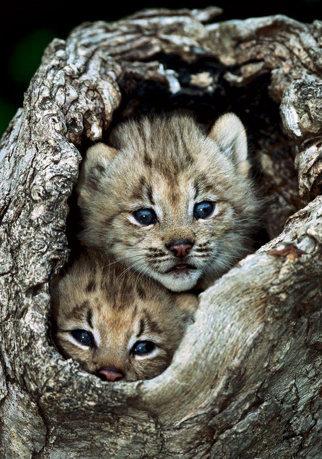 canadalynxkittens Animals, Lynx kitten, Animals beautiful