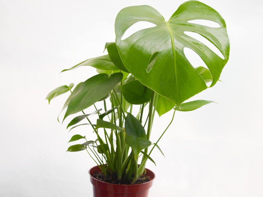 Split Leaf Philodendron Decor