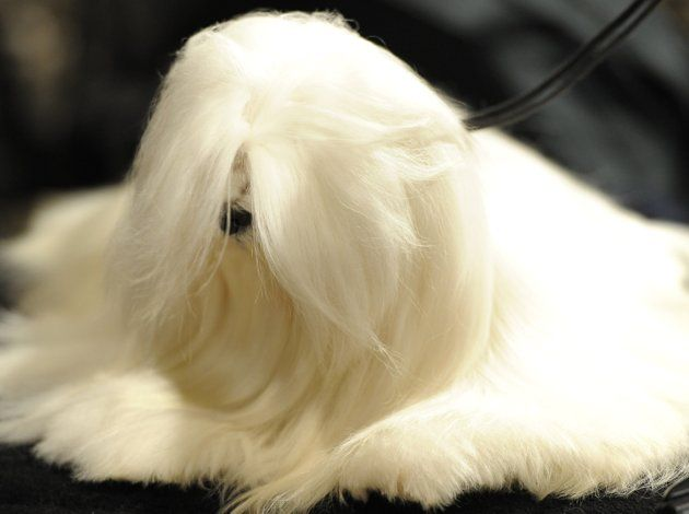 Shaggy Or Supermodel The Maltese Is One Breed With Two Very