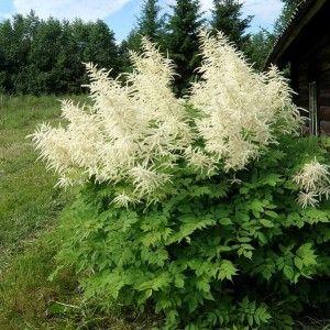 Parzydlo Lesne Zweiweltenkind Aruncus Sinensis Albamar Easy Perennials Flowers Perennials Shade Plants