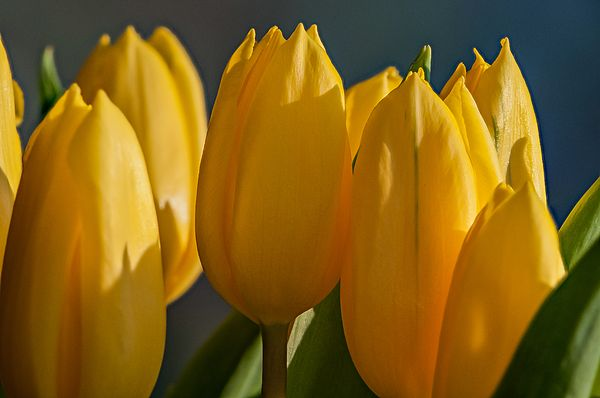 A bunch of cut yellow tulips ready for a vase on the dining room table. #yellow #tulips #flower #spring