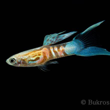 How To Breed Guppy Fish Guppy Fish Fresh Water Fish Tank Guppy