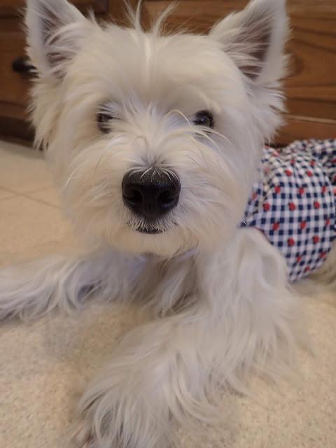 Kinley Westie Westies, Westie terrier