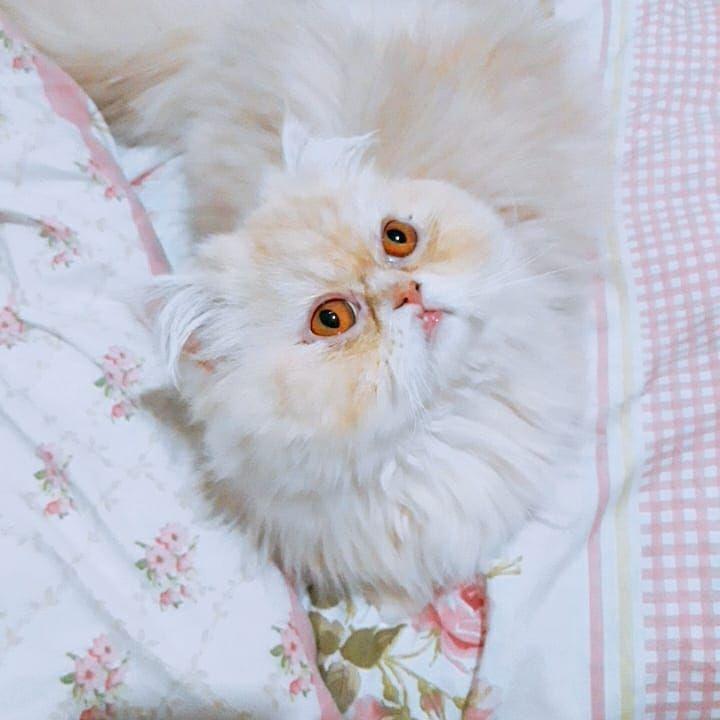 #persiancat #persiancats #persiancatlovers #persiancorner #persian #persiankitten #petstagram #catstagram #...