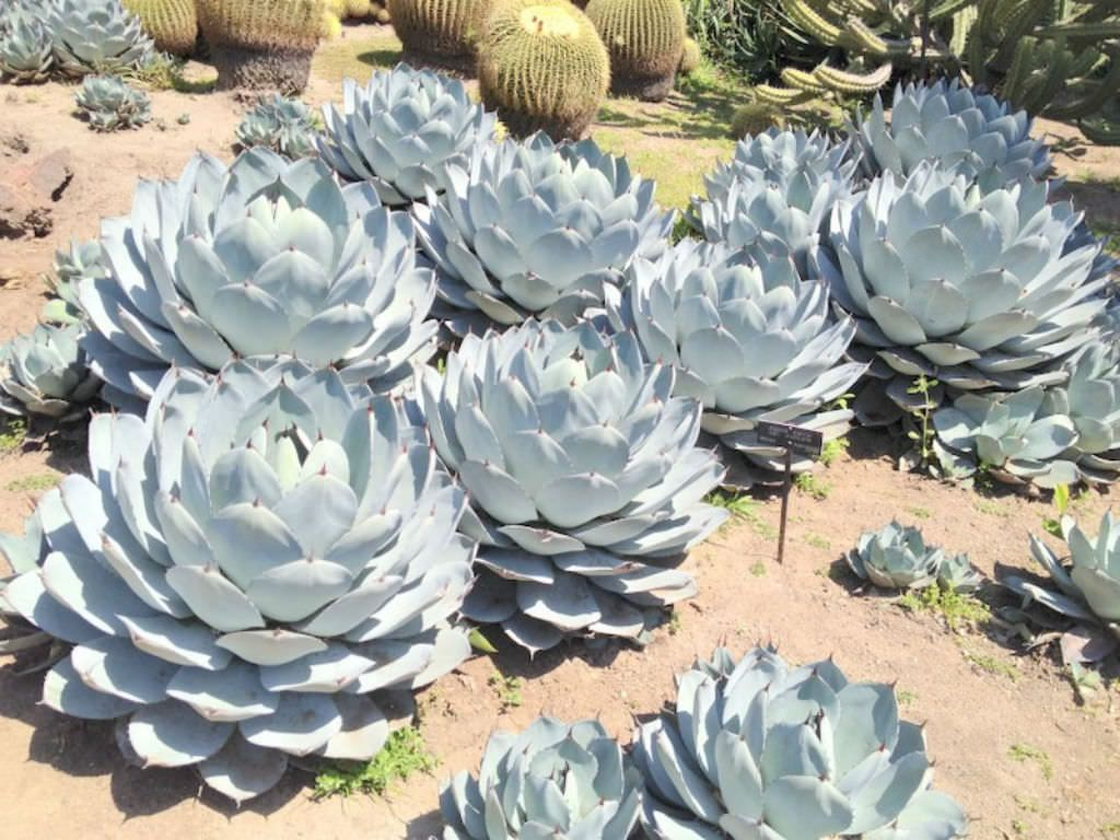 Agave Parryi Var Truncata Artichoke Is An Evergreen Perennial Succulent Plant Forming Rosettes Of Broad Short Thick