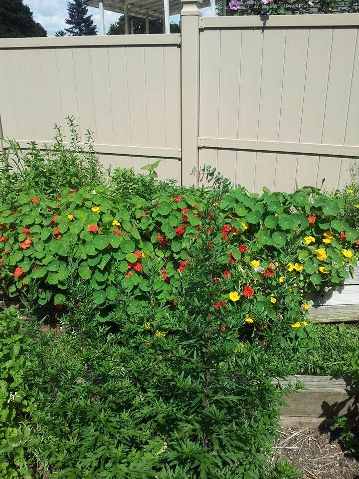 Nasturtium at the gardens of A Moment in Thyme https://herballyspeaking.wordpress.com/