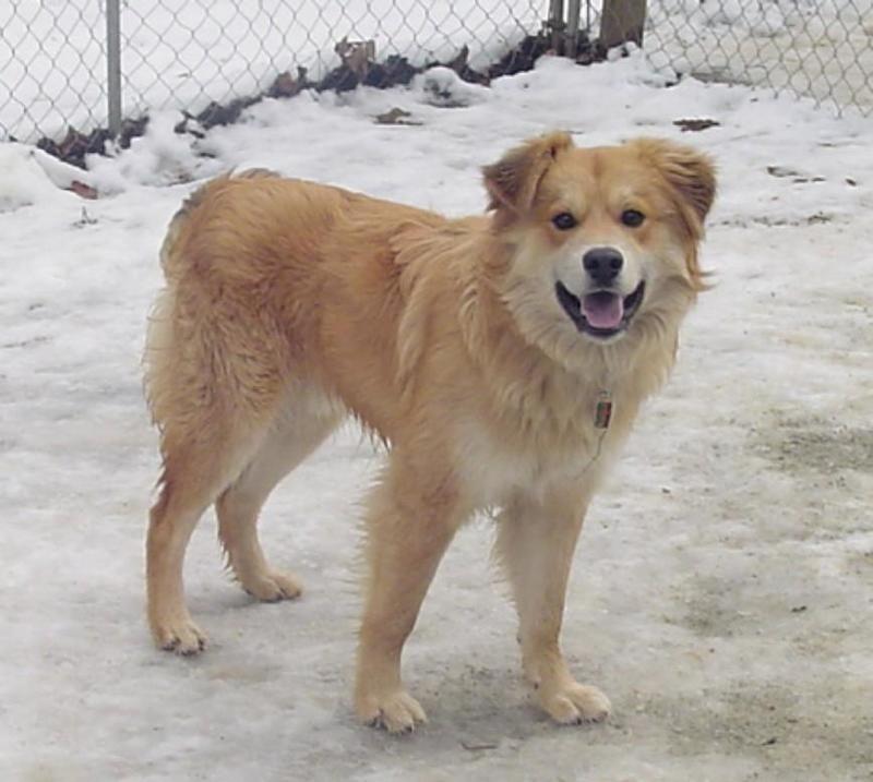 Petfinder  Adoptable   Dog   Golden Retriever   Capon Bridge, WV   Chance