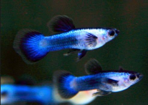 Black Panda Guppy Trio One Male Two Females Back Order Michaels Fish Room Guppy Guppy Fish Fish