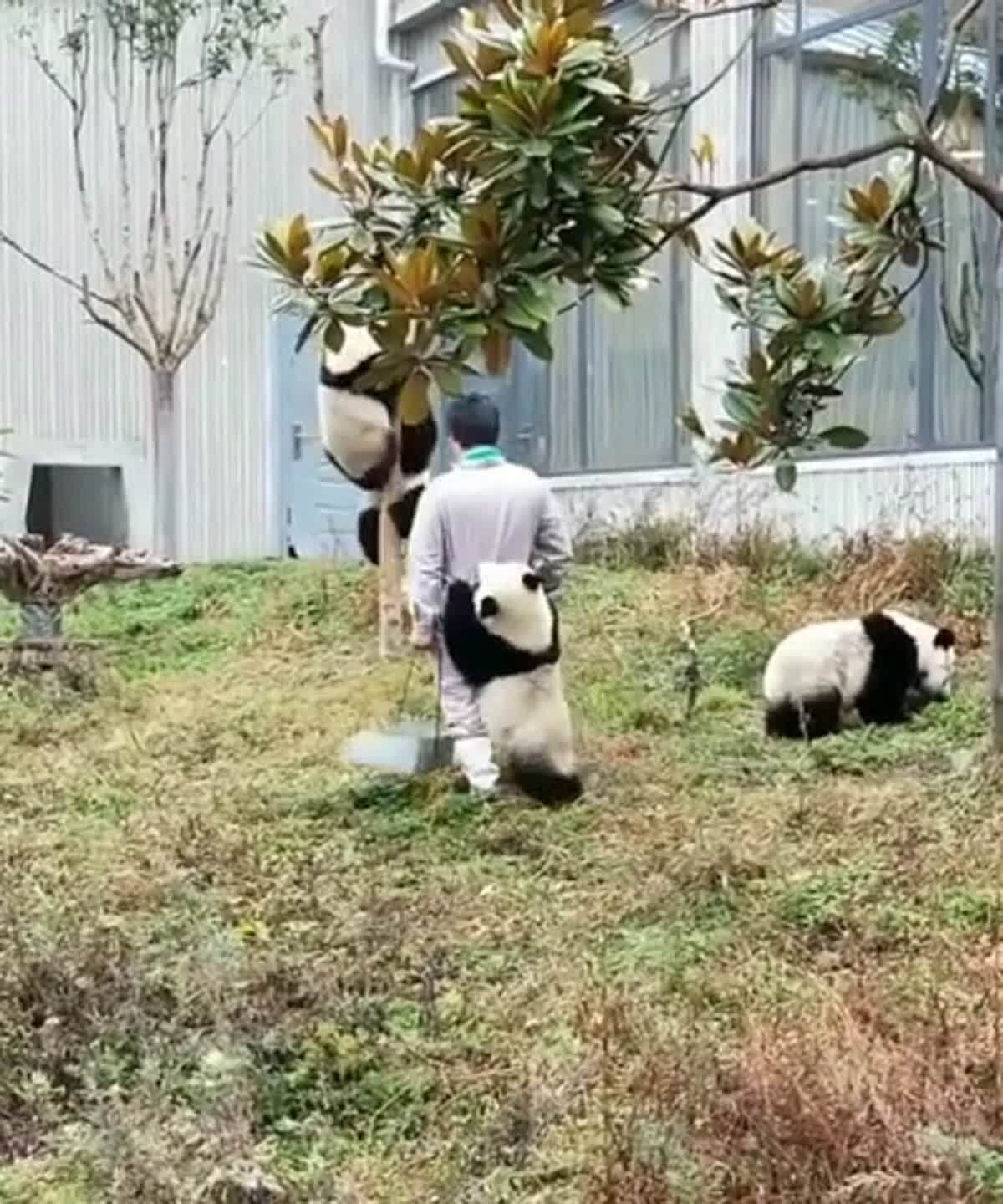 Group of pandas kidnapping an innocent person Funny